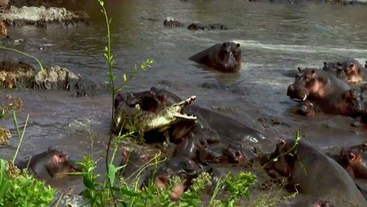 Crocodilo tem a infelicidade de descobrir a força dos hipopótamos