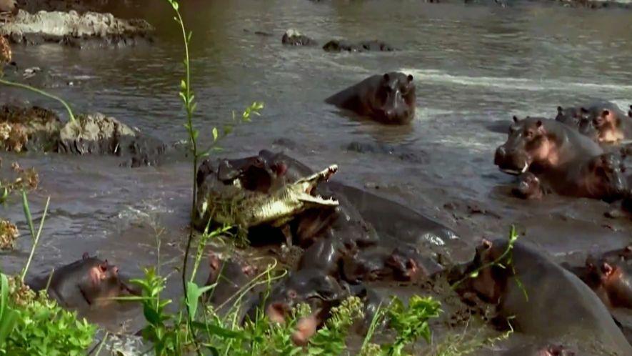 Crocodilos vs. Hipópotamos