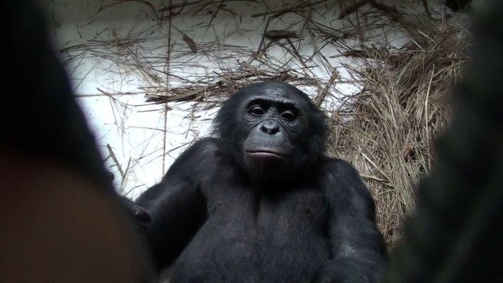 Os Bonobos, ou Chimpanzés-pigmeu, Também Ajudam Estranhos