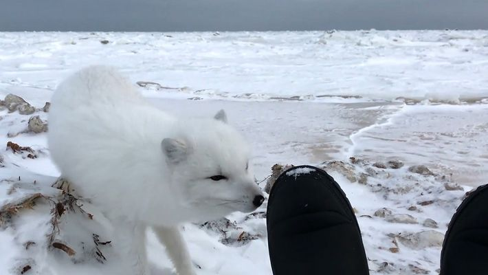 Veja uma Adorável Raposa-do-ártico Mais Perto do Que Nunca