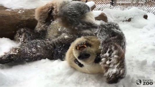 Veja Estes Pandas a Divertirem-se na Neve