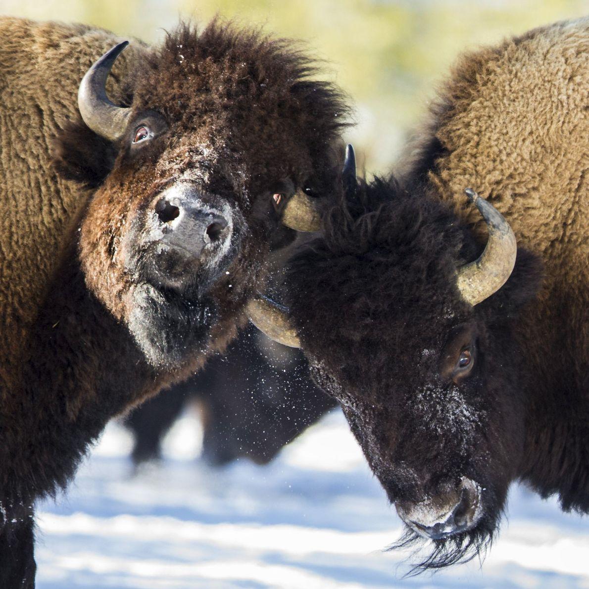 Dois bisontes em disputa