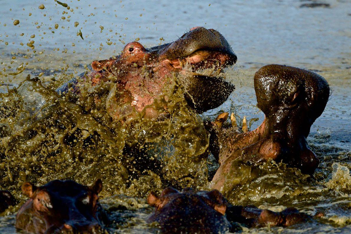 Hipopótamos brigam no Masai Mara, no Quénia.