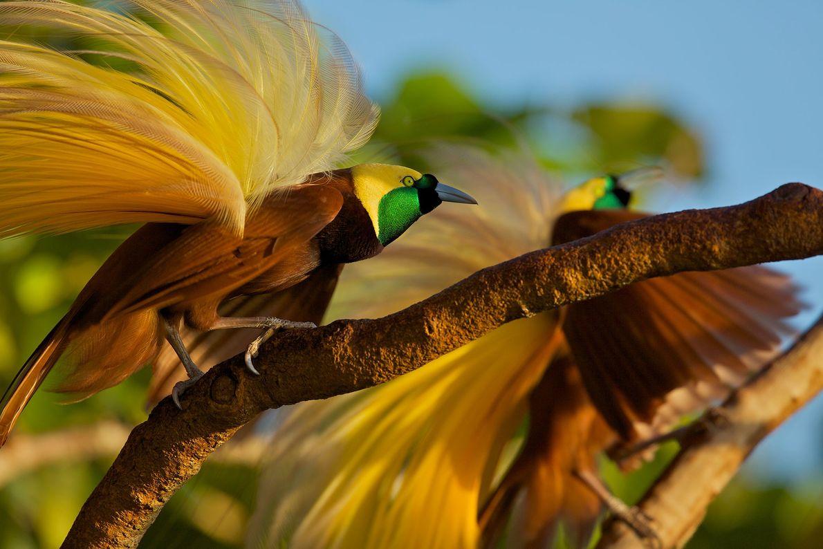 Grande ave-do-paraíso