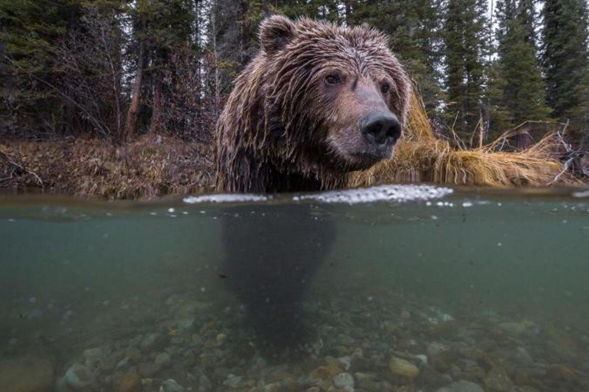 Um urso-pardo tenta apanhar salmão.