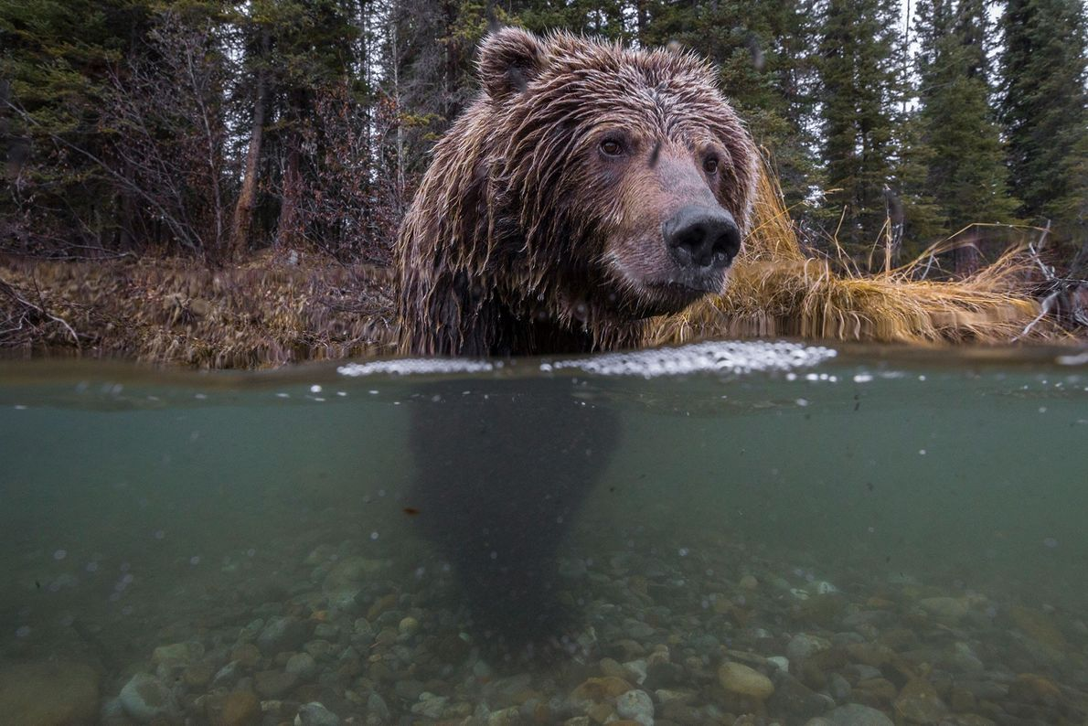 Urso pardo, Rio Fishing Branch