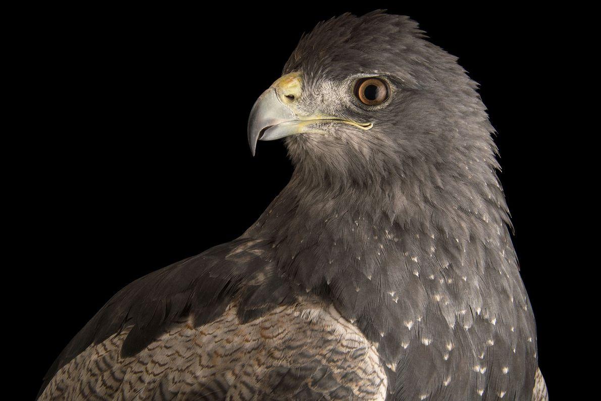 Espécies de águias - Uma águia-chilena