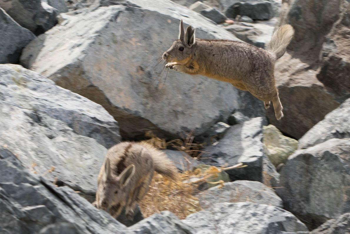 Duas viscachas, família das chinchilas, saltam