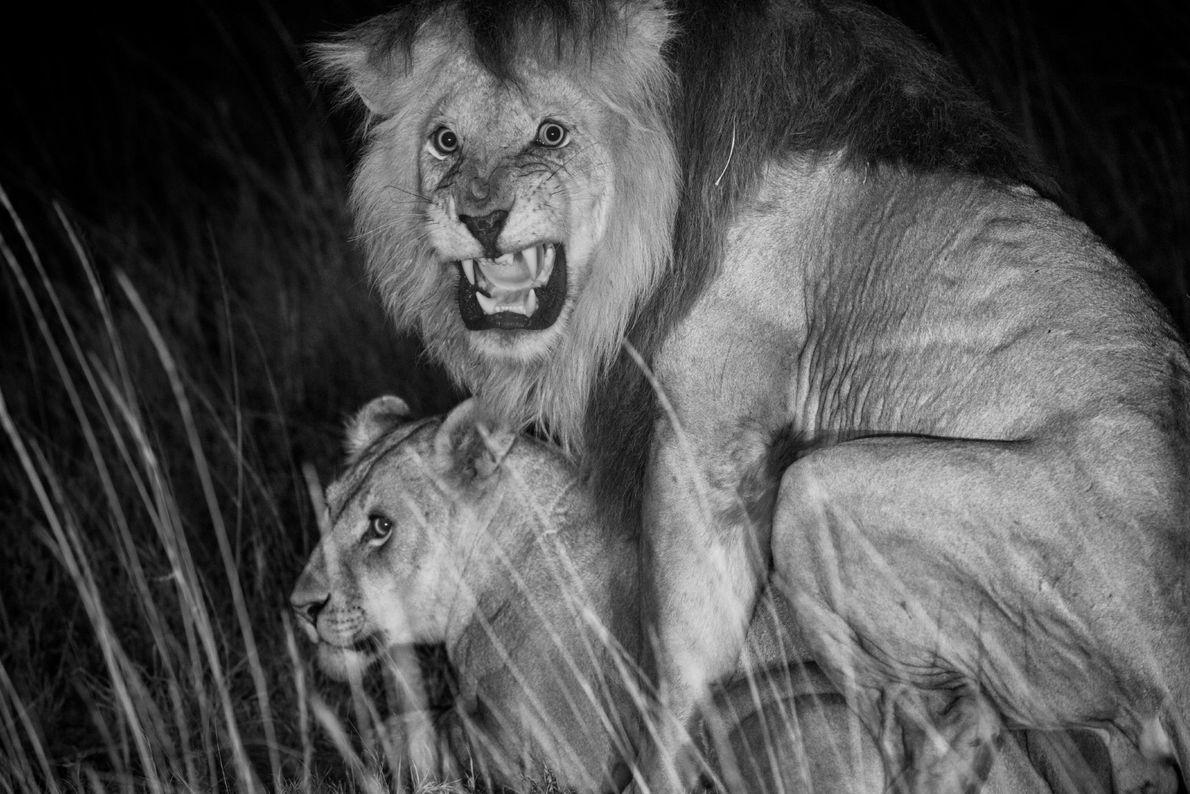 Um leão chamado C-Boy e a sua consorte