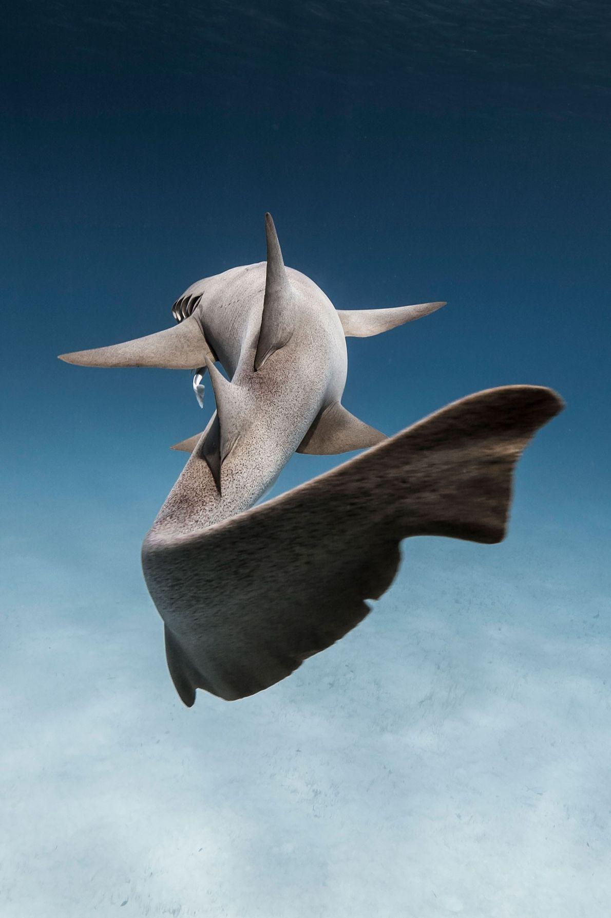 Tubarão-enfermeira nas Bahamas