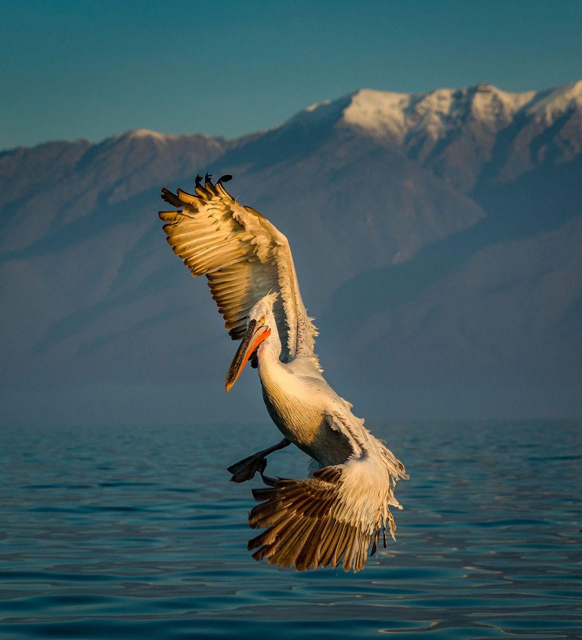 Pelicano. Lago Kerkini, Macedónia, Grécia