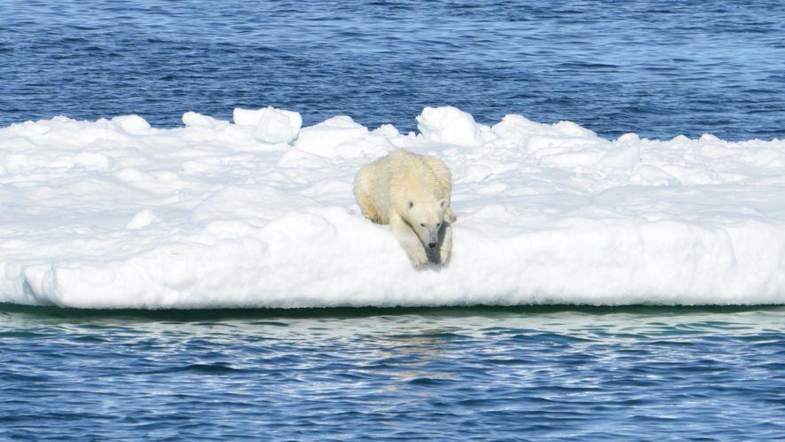 Filmagem Revela Dificuldade dos Ursos Polares em Encontrar Comida