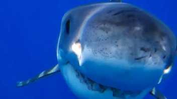Grande Tubarão-Branco Morde Drone Submarino