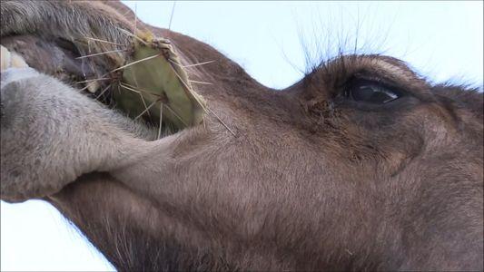 Estes Camelos Não se Incomodam com os Espinhos destes Catos