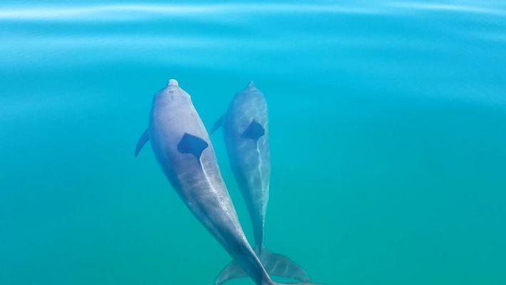 """Veja golfinhos de """"mãos dadas"""""""