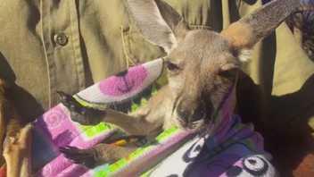 Veja Um Bebé Canguru Resgatado Deliciado em Bolsa Artesanal