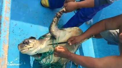 "Tartaruga-Marinha Resgatada de uma ""Invisível"" Armadilha Abandonada"