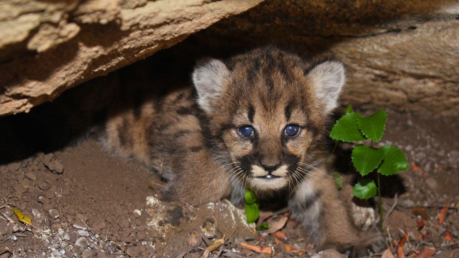 Veja Quatro Filhotes de Leão da Montanha a Acordarem na Sua Toca