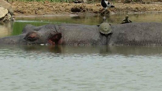 Veja Tartarugas a Apanhar Banhos de Sol às Costas de um Hipópotamo