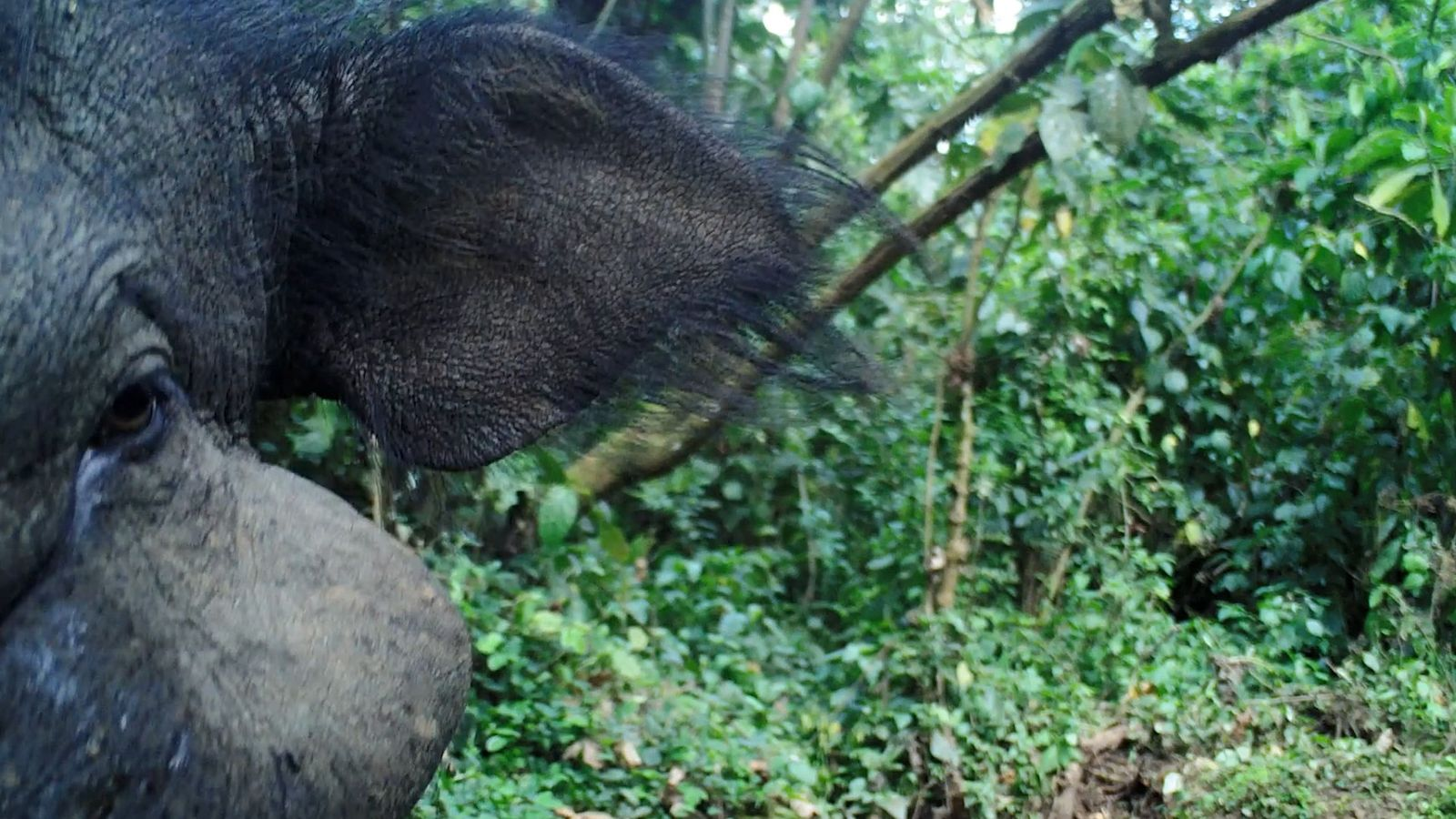 Veja Filmagens Raras do Misterioso Porco Gigante da Floresta