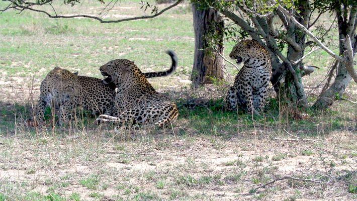 Vídeo Raro de Duas Irmãs Leopardo que Acasalam com o Mesmo Macho