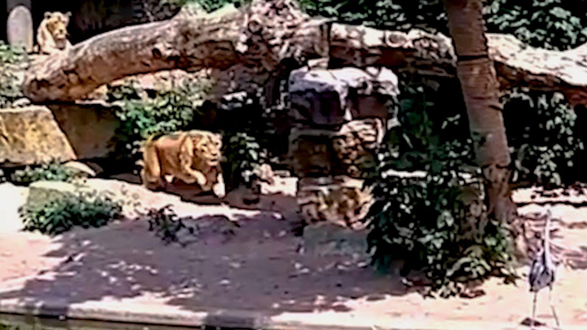 Veja Leão a Atacar uma Garça num Zoológico em Amsterdão