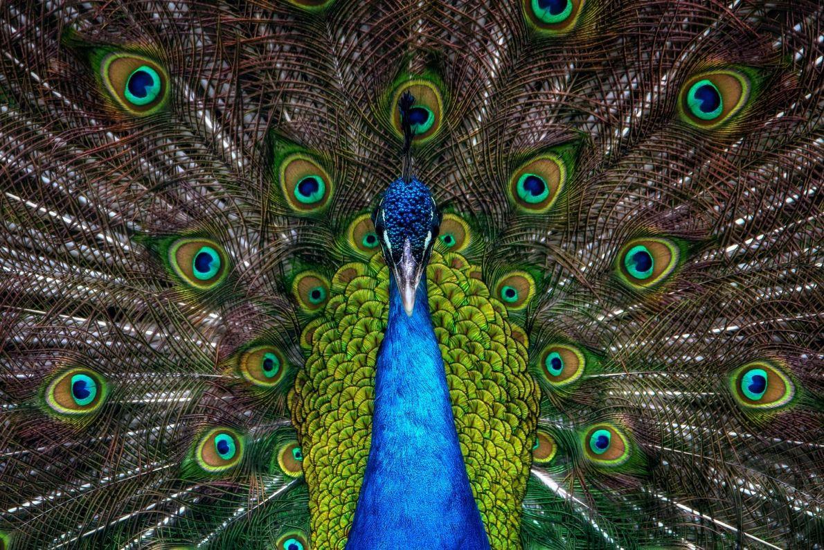 Fotografia de um pavão a exibir as suas penas coloridas