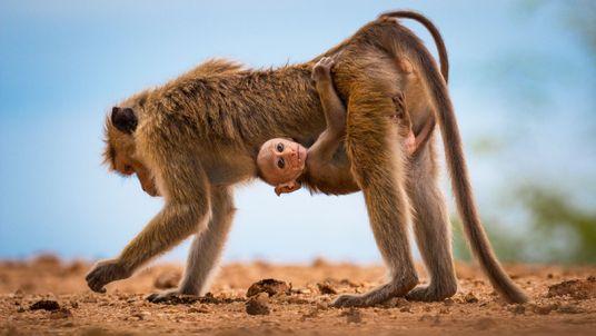 Fotografia de um macaco de Toque e da sua mãe no Sri Lanka