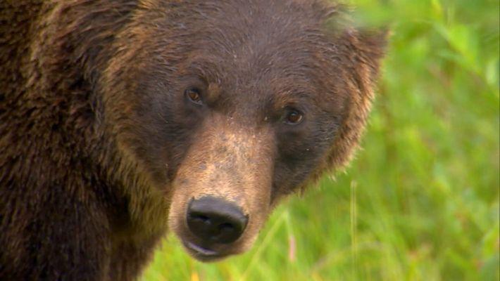 Ursos Pardos e a Explicação dos Seus Apetites Insaciáveis