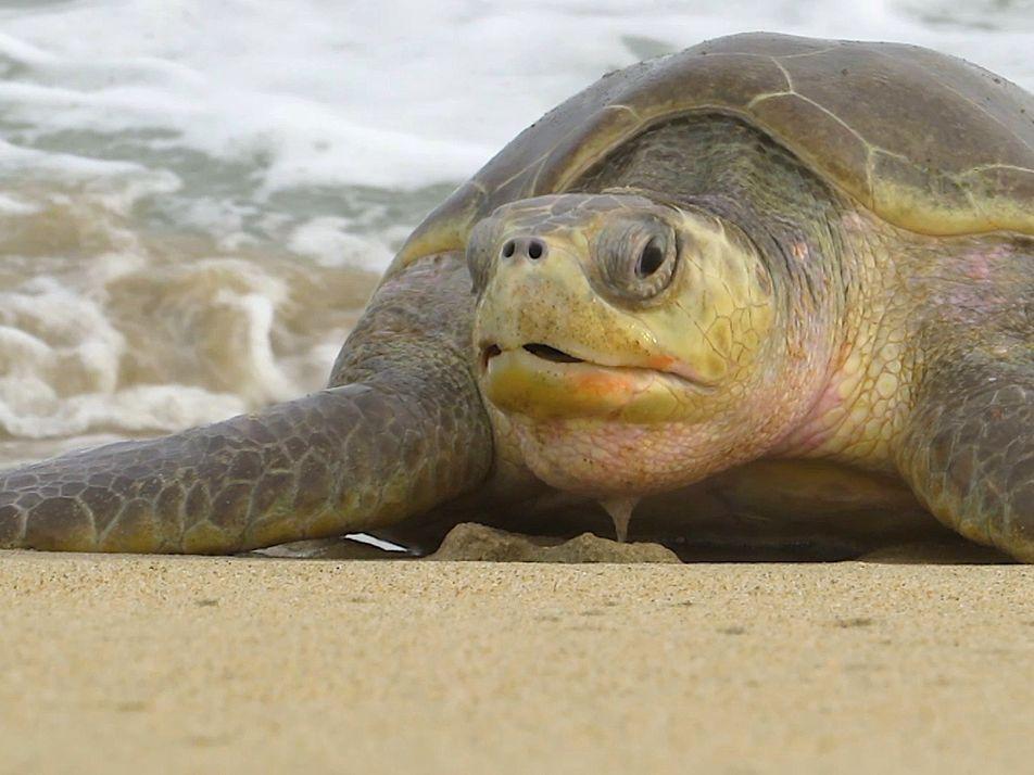 300 Tartarugas Marinhas Olivaceas em Risco de Extinção Encontradas Mortas