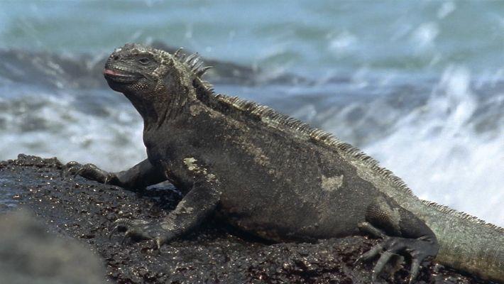 Iguanas Marinhas, os Únicos Lagartos que Nadam no Mar