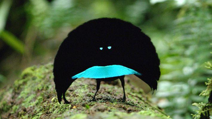 Filmagem Rara de Nova Espécie de Pássaro do Paraíso Faz Dança de Cortejo