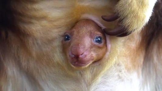 Veja Canguru de Árvore em Extinção Recém-Nascido Espreitar da Bolsa Marsupial da Mãe