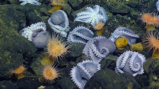Com 1000 Fêmeas, Este é o Maior 'Berçário' de Polvos nas Profundezas do Oceano