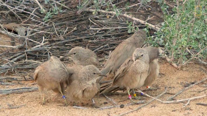 Veja o Porquê Destes Pássaros Esconderem as suas Atividades Sexuais.