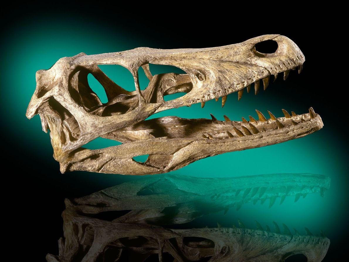crânio de um Velociraptor mongoliensis