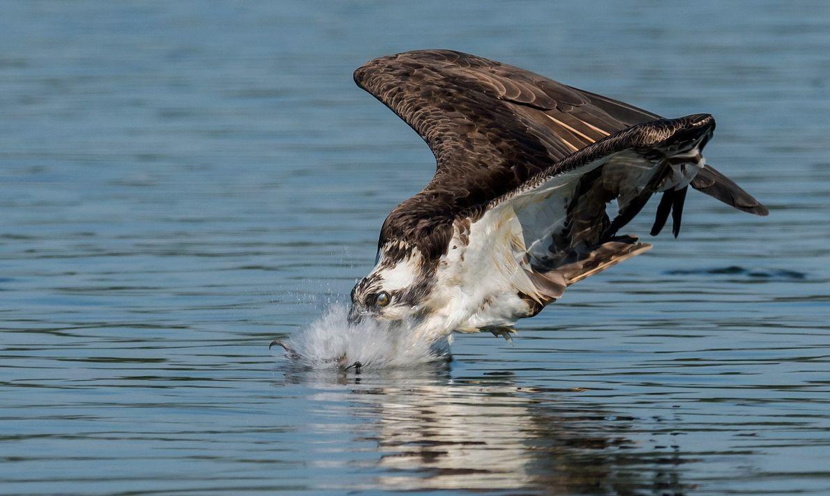 Uma águia-pesqueira