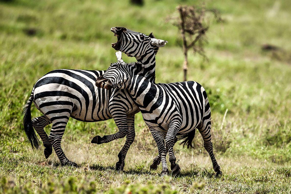 Duelo de zebras na Tanzânia.