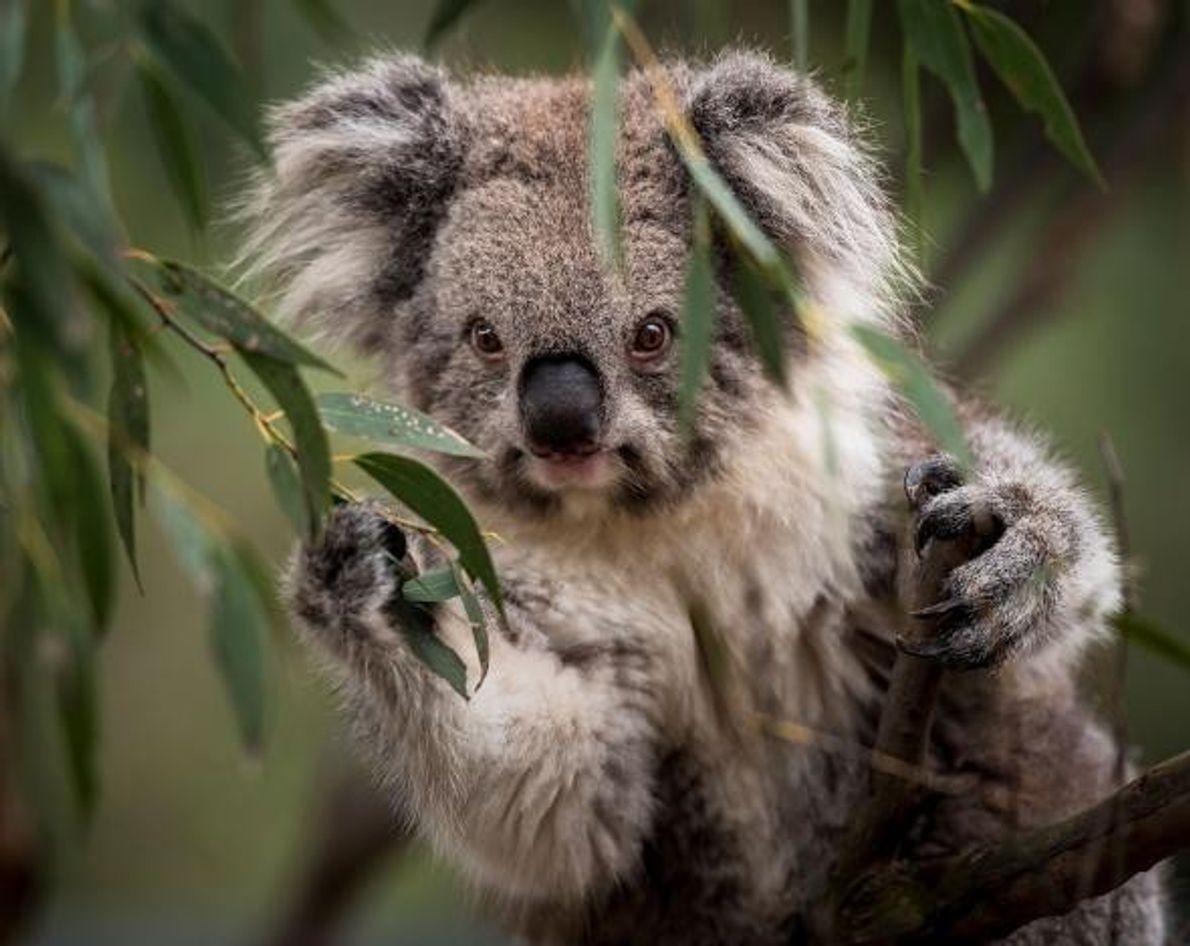 Retrato de um coala de Victoria.