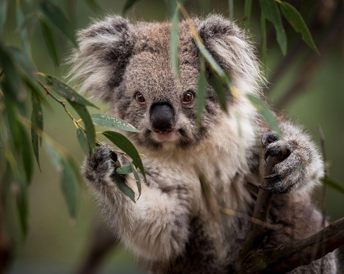 Coala, Austrália.