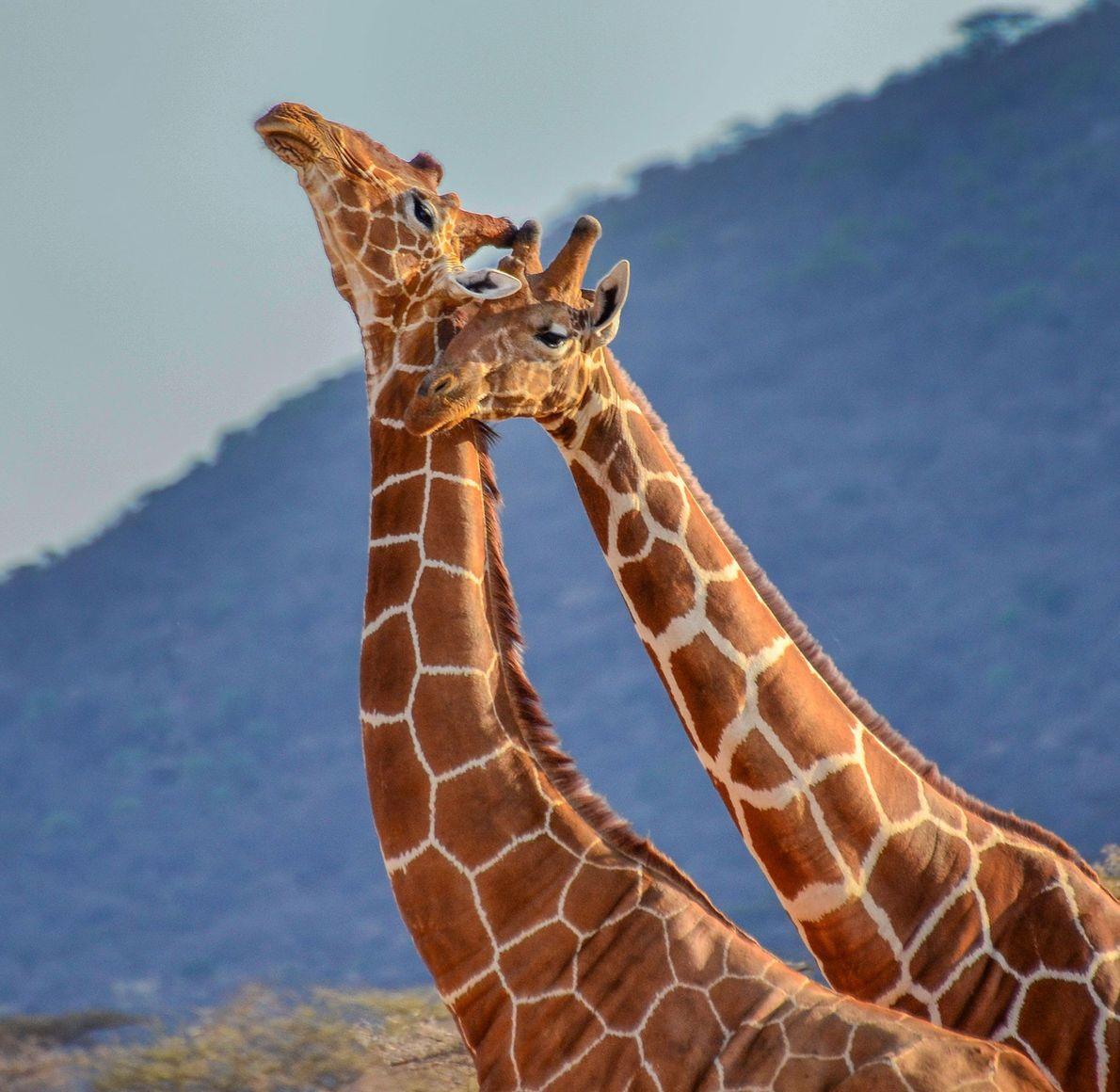 Girafas. Maasai Mara, Quénia.