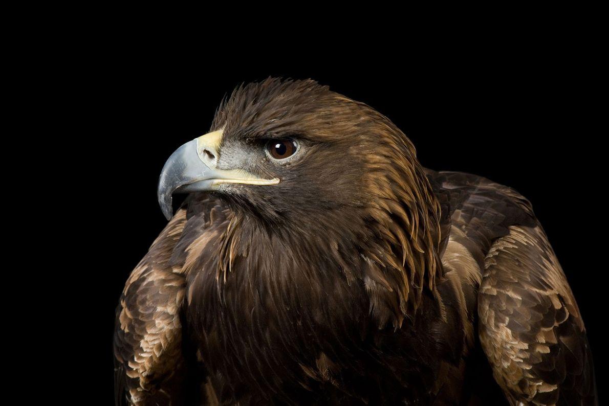 Espécies de águias - Uma águia-real