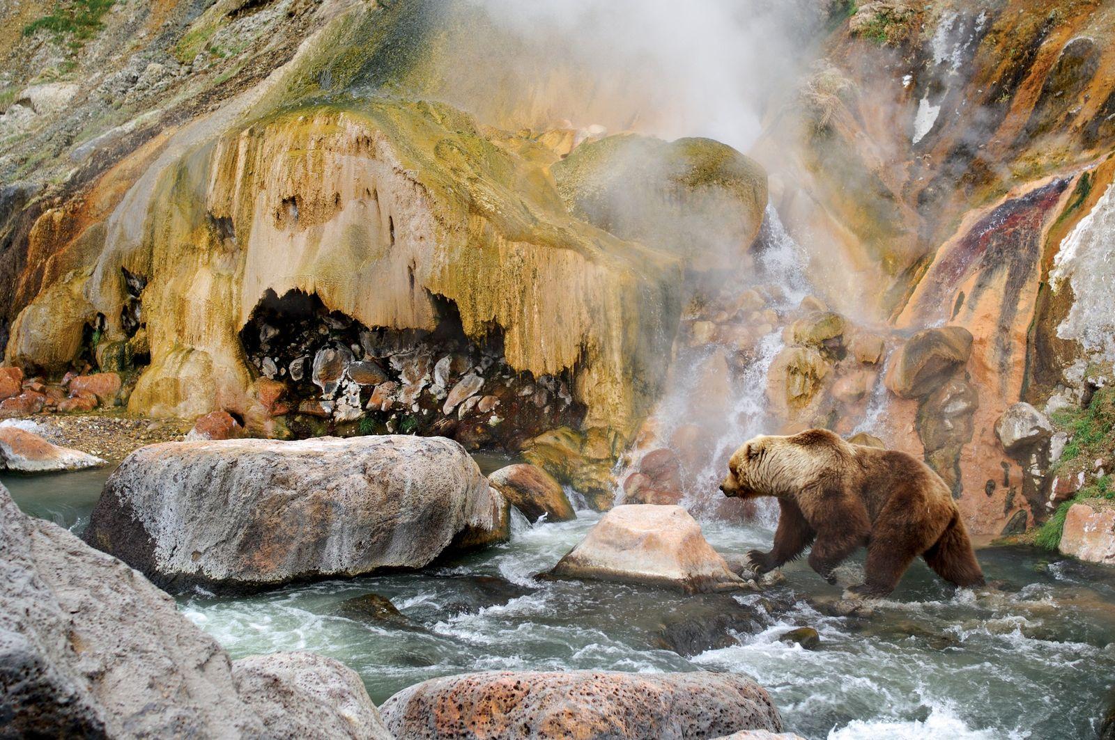 Um urso-pardo-de-kamchatka procura salmão na Reserva Natural de Kronotsky, na Rússia.