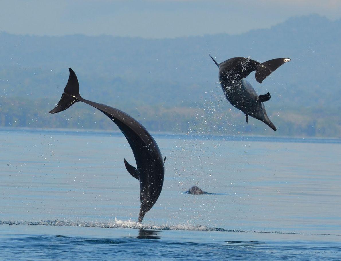 Golfinhos dos trópicos foram avistados junto da costa da península de Osa
