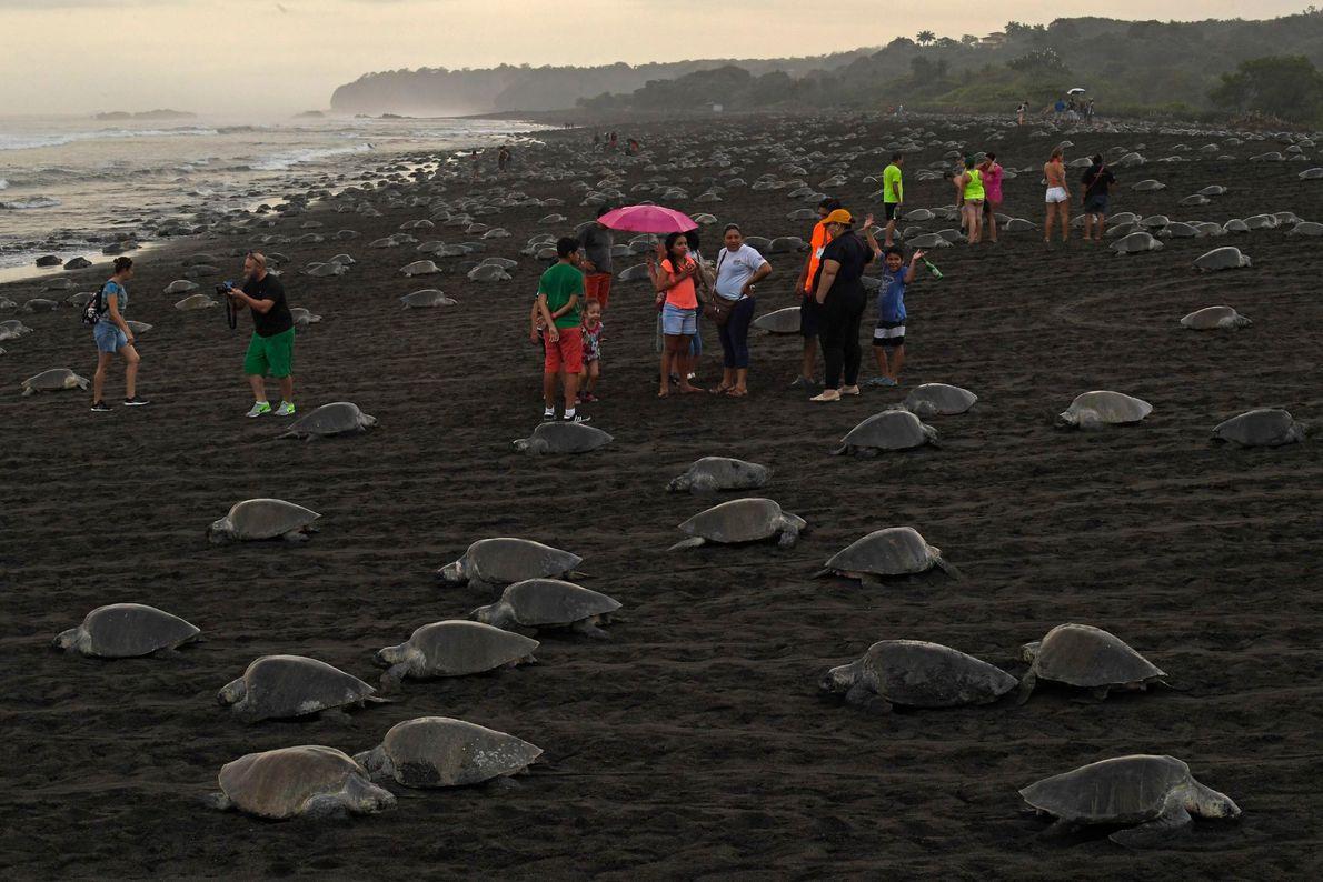 Turistas visitam a praia de Ostional enquanto as tartarugas emergem para a postura dos ovos. Os ...
