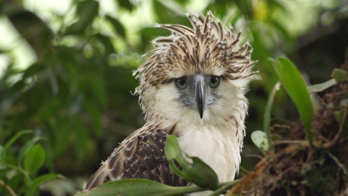 Um Vídeo Raro de Uma Cria de Águia-das-Filipinas Que Se Encontra Ameaçada