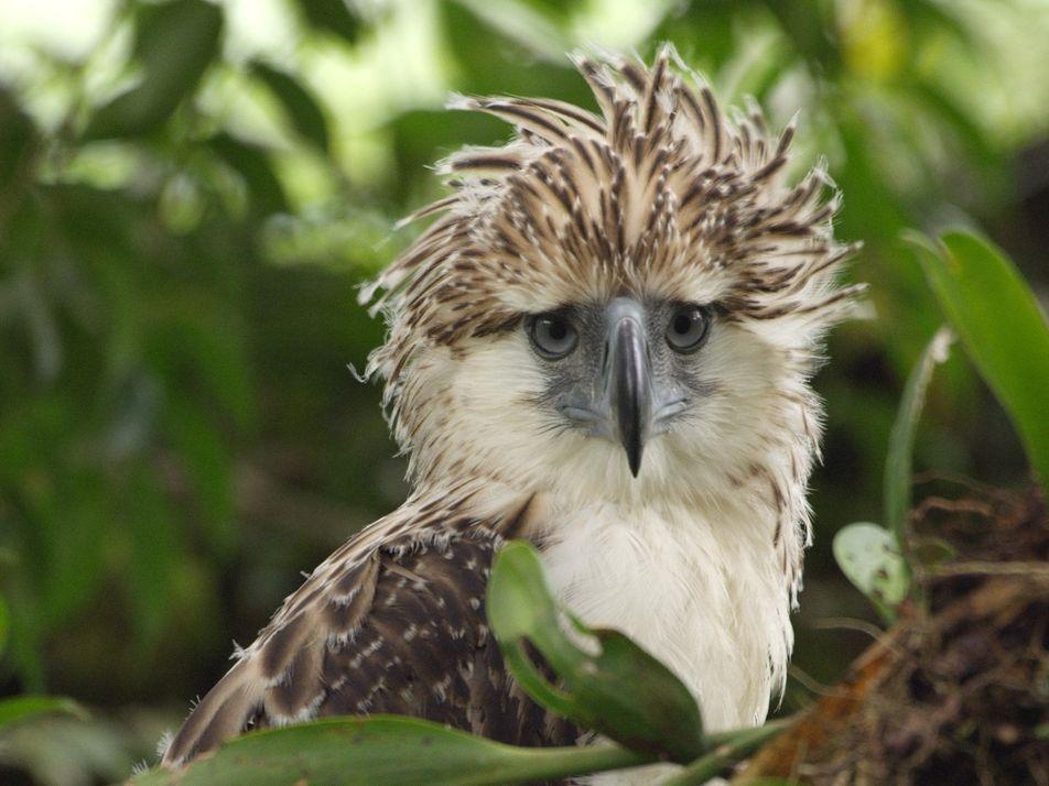 Vídeo Raro de Cria de Águia-das-Filipinas Ameaçada