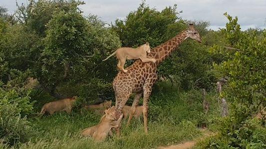 Um Grupo de Leões Ataca Uma Girafa Adulta