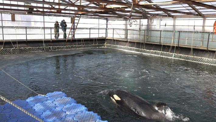 100 Orcas e Baleias-Brancas Em Risco de Morte