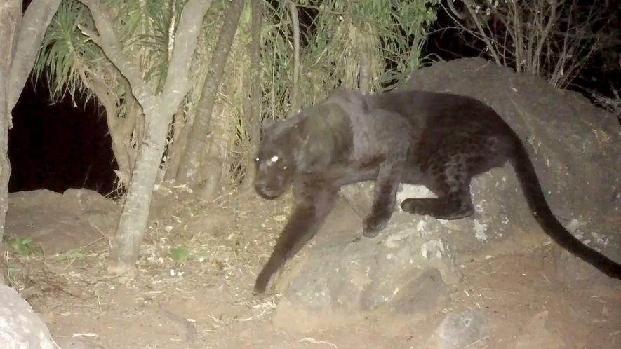 Imagens Registam Um Leopardo Negro a ViverNo Quénia